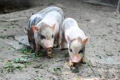 Drie kleine Vietnamese biggetjes op een landbouwbedrijf stock foto
