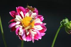 Drie kleine vlinders zitten op rood-en-witte bloem Stock Afbeelding