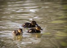 Drie kleine wilde eendeendjes in het water Royalty-vrije Stock Afbeeldingen