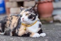 Drie-kleur gemengde katten stock afbeelding