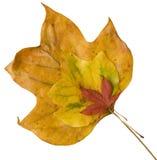 Drie kleurden bladeren stock afbeelding
