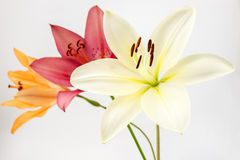 Drie kleuren van lelie Royalty-vrije Stock Afbeeldingen