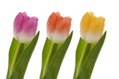 Drie kleurrijke tulpen Stock Afbeelding