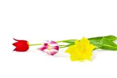 Drie kleurrijke tulpen stock foto's