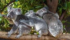 Drie koala's die op een takholding elkaar zitten stock afbeelding