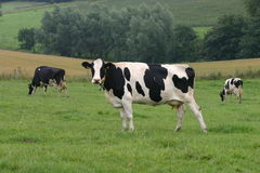 Drie koeien Royalty-vrije Stock Afbeeldingen