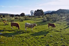 Drie koeien die door het gebied en een grote antenne op de achtergrond lopen Stock Afbeeldingen