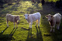 Drie koeien die naar camera met hun ruggen aan de zon kijken Royalty-vrije Stock Afbeelding