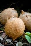 Drie kokosnoten Stock Afbeeldingen