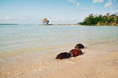 Drie Kokosnoten in het Water royalty-vrije stock afbeelding