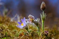 Drie krokussen in de lente Stock Fotografie