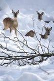 Drie Kuiten Deers (capreolus Capreolus) in de sneeuw royalty-vrije stock foto