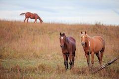 Drie kwart paarden in weiland Royalty-vrije Stock Fotografie