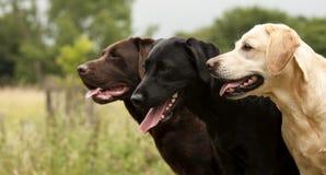 Drie labradors Stock Foto's