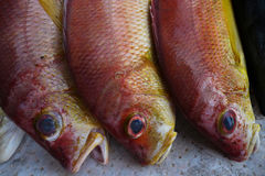 Drie lange rode exotische mariene vissen met reusachtige doende zwellen blauwe ogen en een gele buik, liggen op een rij op de tel Stock Foto