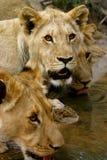 Drie leeuwen Royalty-vrije Stock Fotografie