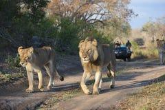 Drie leeuwen die langs een grintweg lopen die, door een safarivoertuig wordt gevolgd stock afbeelding
