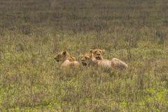Drie leeuwenwijfje Stock Afbeelding