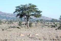 Drie leeuwinnen die in droog gras van een boom achteruitgaan royalty-vrije stock afbeeldingen