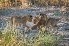 Drie leeuwwelpen die op modderige grond spelen Stock Afbeeldingen