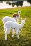 Drie leuke jonge alpacas Royalty-vrije Stock Fotografie