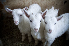 Drie leuke kleine geiten op het landbouwbedrijf Royalty-vrije Stock Foto's