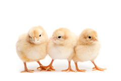 Drie leuke kuikens die op wit worden geïsoleerdk Royalty-vrije Stock Fotografie