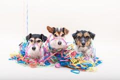 Drie leuke ongehoorzame partijhond Jack Russell-honden klaar voor Carnaval stock foto's