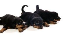 Drie Leuke Puppy Rottweiler Stock Foto