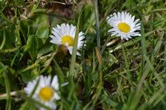 Drie llittlemadeliefjes in het gras stock afbeelding