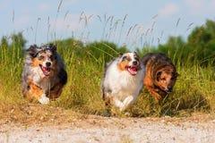 Drie lopende Australische Herdershonden Royalty-vrije Stock Afbeeldingen