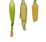 Drie maïskolven Royalty-vrije Stock Foto's