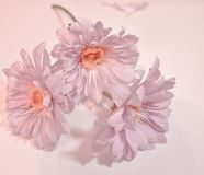 Drie Madeliefjes van baby roze Gerbera in een romantische stijl royalty-vrije stock foto's