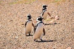 Drie Magellanic-pinguïnen die op een strand lopen Stock Afbeeldingen