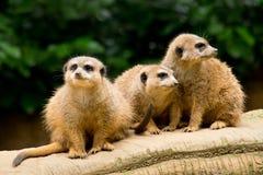 Drie meercats stock fotografie