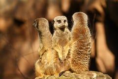 Drie meercats op een vooruitzicht stock foto