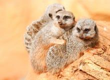 Drie meerkats Royalty-vrije Stock Afbeeldingen