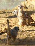 Drie Meerkats op de plicht van de Wacht Royalty-vrije Stock Foto's