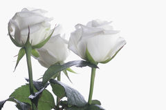 Drie met rozen op thw met bakcround Royalty-vrije Stock Foto