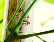 Drie mieren die op Laurel Clockvine-bladeren spelen stock foto's