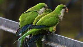 Drie Monnik Parakeets Perched op een Omheining stock afbeeldingen