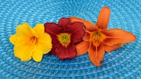 Drie mooie die daylilies op blauwe mat wordt gedetailleerd stock afbeeldingen