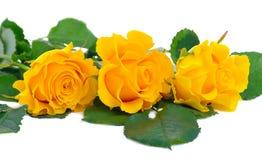 Drie mooie gele rozen op een witte achtergrond Stock Foto