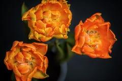Drie mooie oranje tulpen op donkere achtergrond sluiten hoogste mening royalty-vrije stock afbeelding