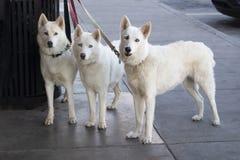 Drie mooie witte honden met ijs blauwe ogen bonden aan een vuilnisbak buiten een opslag terwijl hun meester - recht bekijkend win stock foto's