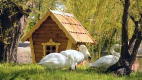 Drie mooie zwanen die en dichtbij het huis voor zwanen eten lopen stock video