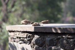 Drie Mussen op een Richel royalty-vrije stock afbeelding