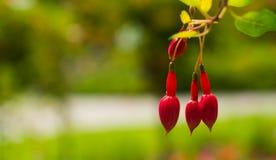 Drie niet-opgeloste bloemen van fuchsia op een vage achtergrond Stock Foto