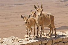Drie nieuwsgierige berggeiten in de woestijn Stock Afbeelding