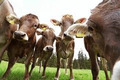 Drie nieuwsgierige jonge melkkoeien Royalty-vrije Stock Foto